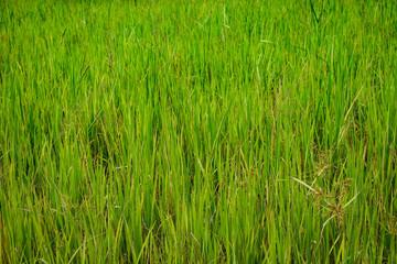green grass background, green grass texture.