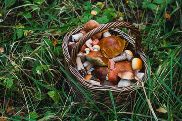 full basket of edible mushrooms in the forest in autumn