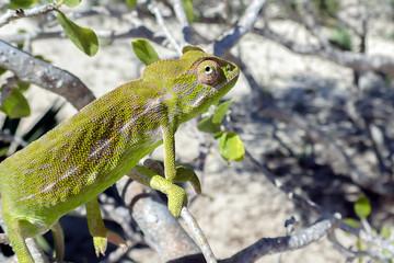 Common Chameleon (Chamaeleo chamaeleon), The common chameleon Madagascar