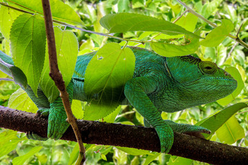 Malagasy Giant Chameleon / Furcifer oustaleti, Madagascar