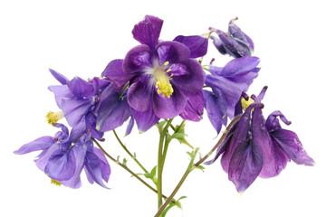 A real blue bells flowers from simle european garden.