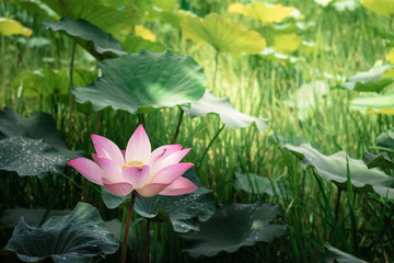 Blooming of lotus flower with the background of green leaves in the pond