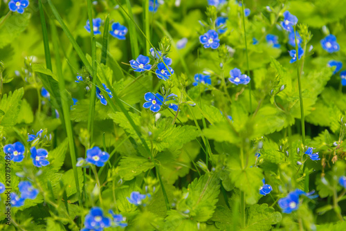 field of blue flowers cornflowers stock photo and royalty free