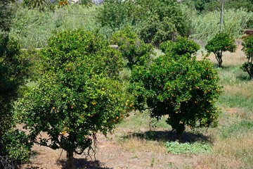 Orange grove on the edge of town, Silves, Portugal.