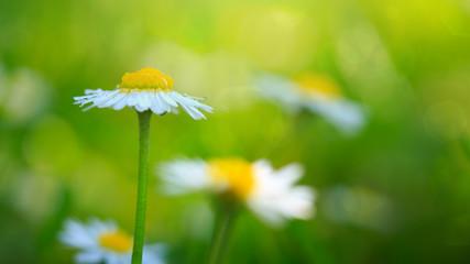 White daisies closeup.
