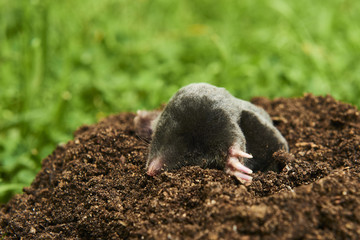 Close up of Mole in garden. Talpa europaea, crawling out of brown molehill, green grass lawn background. Selective focus