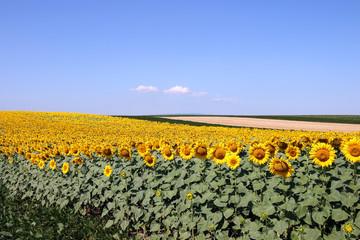 sunflower field landscape summer season