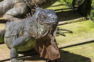 Wild animal. Head common iguana closeup