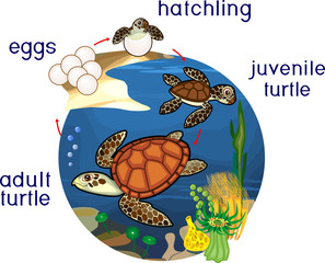Life cycle of sea turtle. Sequence of stages of development of turtle from egg to adult animal