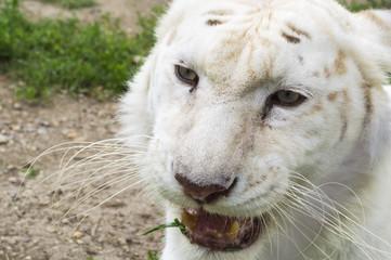 Close up image of white bengal tiger