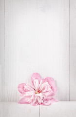 Beautiful pink peon on white wooden background. Top view.