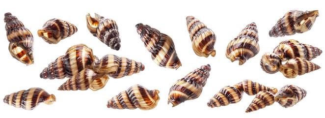 Shell of aquarium Assassin Snail Clea helena (Anentome helena) isolated on white background