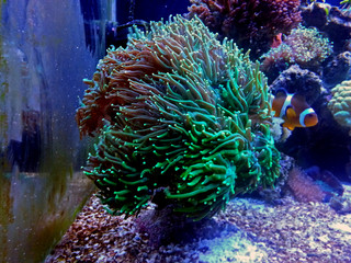 Green euphyllia lps coral in reef aquarium tank