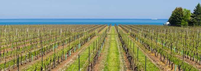 Vineyard in Niagara on Lake Ontario