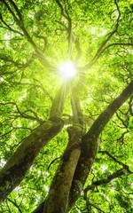 Sonne scheint durch das Blätterdach eines schönen Baumes - Sun shines through the canopy of a beautiful tree