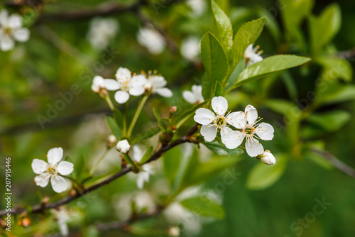 Beautiful Flowers Of Tree Cerasus Close Up Romantic Background Of