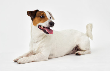 Jack Russell Terrier looks on white background