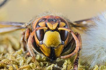 Close-up European Hornet