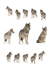 Foto auf Leinwand Wolf gray wolf