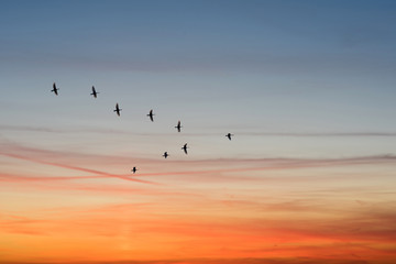 birds flying in the shape of v on the cloudy sunset sky.