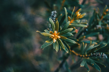 small leaves of daphne gnidium
