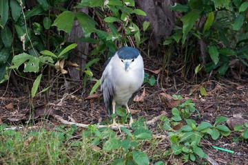 Black-crowned Night Heron or Black-capped Night Heron