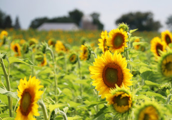Agriculture, agronomy and farming background.Scenic rural summer landscape with field of sunflowers in shallow depth of field and silhouette of farm buildings on a background. Beautiful summer nature.