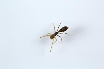 Ant mimic spider, Myrmarachne sp, Salticidae, Bangalore