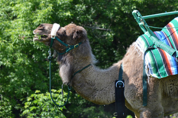 Camel waiting to give rides