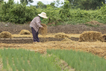 thai farmer planting organic vegetable with dry rice straw