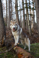 Portrait of friendly beige and white Siberian Husky dog standing in the forest on the tree at sunset