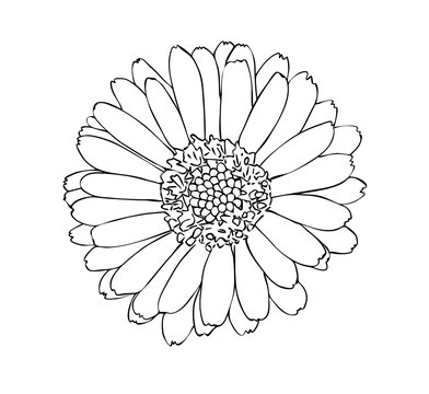 Vector illustration, isolated marigold flower in black and white colors, outline hand painted drawing
