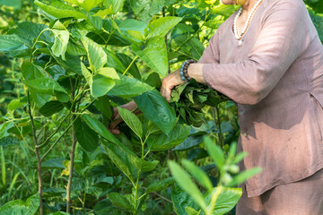 Mulberry tree in the garden, with Vietnamese woman picking leaf. Mulberry leaf is food for silkworm, to make silk