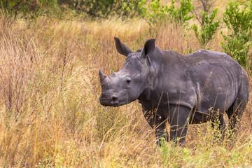 A young rhinoceros in the savanna of Meru. Kenya, Africa