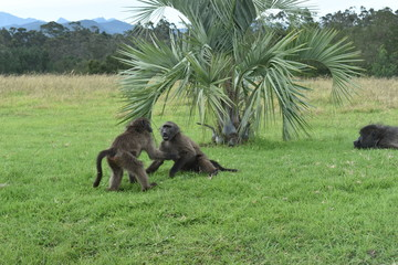 Brown baboons are playing on a meadow in South Africa