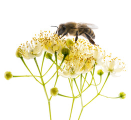 Fotorolgordijn Bee Linden flowers with honey bee isolated on a white background