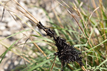 Closeup of many black grasshoppers on a blade of grass