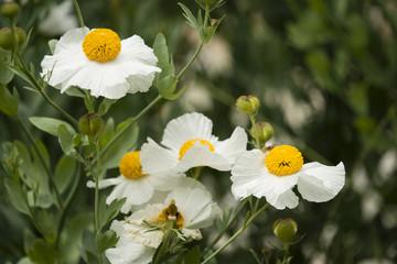 Details of California tree poppy flowers