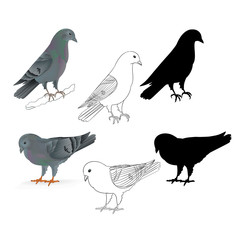 Pigeons Carriers  domestic breeds sports birds natural and outline and silhouette vintage  set set four vector  animals illustration for design editable hand draw
