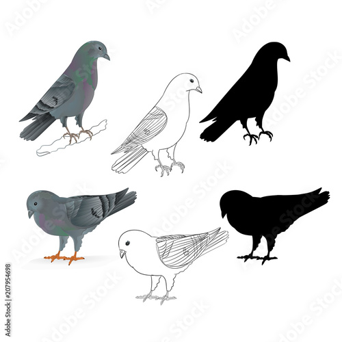 Pigeons Carriers Domestic Breeds Sports Birds Natural And Outline