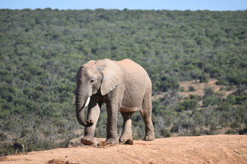 A beautiful grey big elephant in Addo Elephant Park in Colchester, South Africa