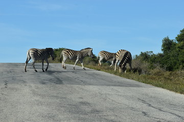 Two beautiful zebras on a street in South Africa