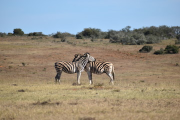 A beautiful zebra couple on a meadow in South Africa