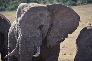 Portrait of a beautiful grey big elephant in Addo Elephant Park in Colchester, South Africa