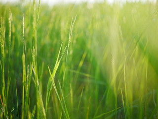 Closeup on grass with blurry background with lightrays