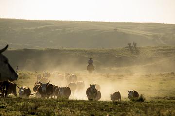 Juntando o gado