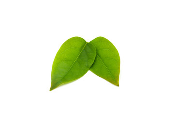 Fototapete - green star gooseberry leaf isolated on white background