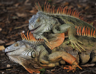 The Iguana / Male Iguanas fighting for dominance in the south Florida Wetlands