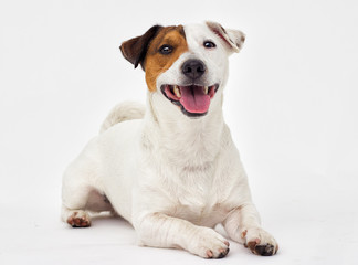 jack russell terrier dog looking at white background