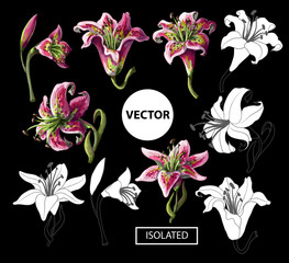 Lilies flowers isolated on a black background. Vector illustration.